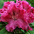 Rhododendron ' Bessie Howells ' by William Tanneberger