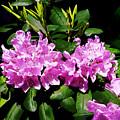 Rhododendron Closeup by Susan Savad