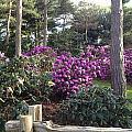 Rhododendron Garden by Pema Hou