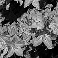 Rhododendron Heaven In Black And White by Jeanette C Landstrom