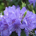 Rhododendron Impeditum by Lena Photo Art