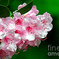 Rhododendron by Lynne Sutherland