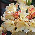 Rhododendron Nancy Evans by Tony Murtagh