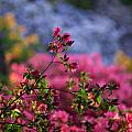 Rhododendron Pink Dream by Mike Reid