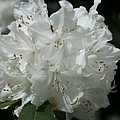Rhododendron Purity by Christiane Schulze Art And Photography