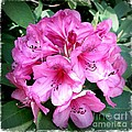 Rhododendron Square With Border by Carol Groenen