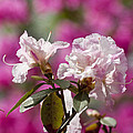 Rhododendron by Steven Ralser