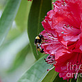 Rhododendron With Bumblebee by Frank Tschakert