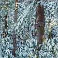 Rhododendron Woods In Snow by Susan Cole Kelly