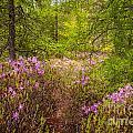 Rhodora Bloom In Acadia by Susan Cole Kelly