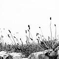 Ribwort Plantain by Anne Gilbert
