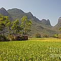 Rice Farm by David Davis