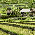 Rice Fields In Bali Indonesia by Jacek Malipan