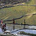 Rice Fields by Kedar Munshi