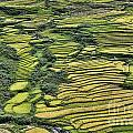 Rice Fields Sapa II by Chuck Kuhn