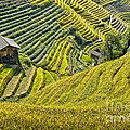 Rice Fields Terraces by Delphimages Photo Creations