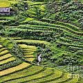 Rice Fields Vietnam by Chuck Kuhn