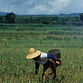Rice Harvest In Southern China by James Brunker
