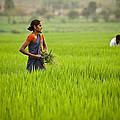 Rice Harvest by John Magyar Photography