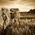 Rice Harvesting by Andrea Timillero