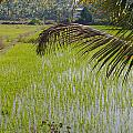 Rice Paddy by Carol Ailles