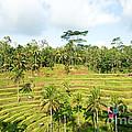 Rice Paddy Field Plantation by Yew Kwang