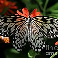Rice Paper Butterfly Elegance by Sabrina L Ryan
