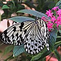 Rice Paper Butterfly by MTBobbins Photography