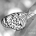 Rice Paper Butterfly Resting For A Second by Sabrina L Ryan