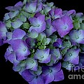 Rich Hydrangea by Living Color Photography Lorraine Lynch