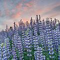 Ridge Of Lupine At Dawn by Greg Nyquist