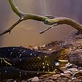Ridgenosed Rattlesnake 3 by Douglas Barnett