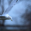 Ring-billed Gull Gliding Portraits 1 by Roy Williams