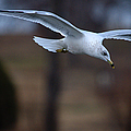 Ring-billed Gull Gliding Portraits 2 by Roy Williams