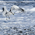 Ring-billed Gull by Zina Stromberg
