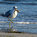 Ring-billed Gull With Its Catch by Debra Martz