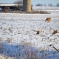 Ring Neck Hens Escape by Bonfire Photography