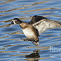 Ring-necked Duck Landing by Anthony Mercieca