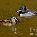 Ring-necked Duck Pair by Anthony Mercieca