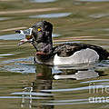 Ring-necked Duck Swallowing Snail by Anthony Mercieca