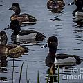 Ring-necked Ducks 6 by Nancy L Marshall
