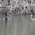 Ring Necked Ducks by Amy Coomber Eberhardt