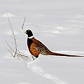 Ring Necked Pheasant by Marty Fancy