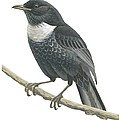 Ring Ouzel  by Anonymous