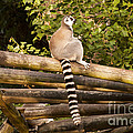 Ring-tailed Lemur by Bob Phillips