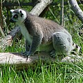 Ring Tailed Lemur by Gary Gingrich Galleries