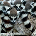 Ring-tailed Lemur Lemur Catta Group by Cyril Ruoso