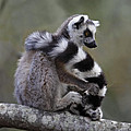 Ring-tailed Lemur Lemur Catta  by Liz Leyden