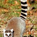 Ring-tailed Lemur Lemur Catta Walking by Millard H. Sharp