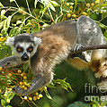 ring-tailed lemur Madagascar 1 by Rudi Prott
